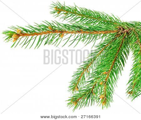 Green pine tree branch isolated on white background