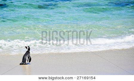 African Penguin found at Boulders beach in Cape Town, South Africa