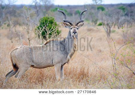 Dominant male Kudu with massive horns