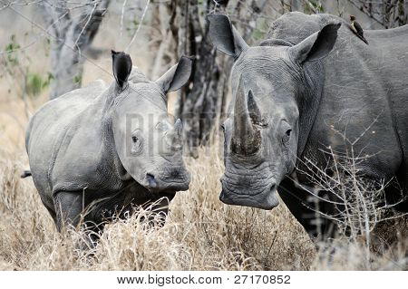 Mother Rhino is watchful and protects her youngster