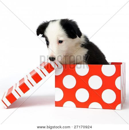 christmas dog in a gift box