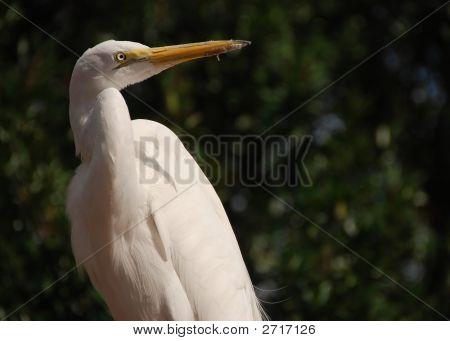Weißer Reiher