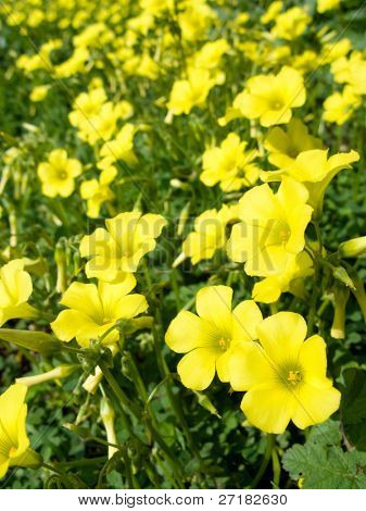 Yellow flowers (Oxalis pes-caprae ) in meadow. Invasive species.
