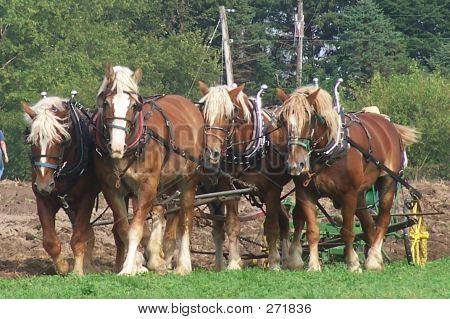 Belgian Work Horses