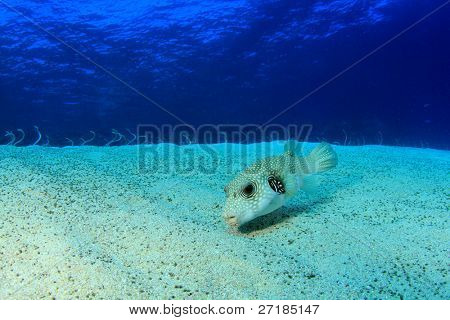 Whitespotted Puffer Fish (Arothron hispidus) at Eel Gardens dive site in Dahab, Egypt