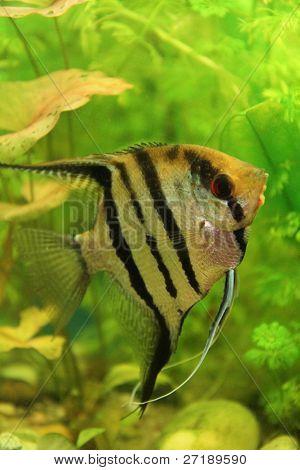 Bom peixe escalar