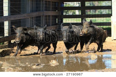 Caged boars running in their pen