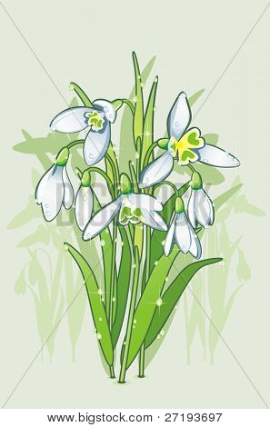The blooming snowdrops with sparkling water drops on the leafs