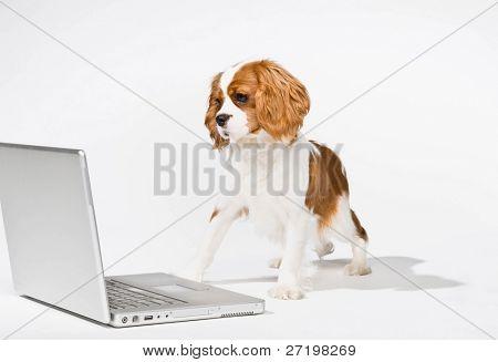 Curious dog peering at laptop