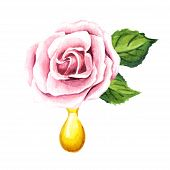Pink Rose Flower And Essential Oil Drop. Spa And Aromatherapy. Watercolor Hand Drawn Illustration  I poster