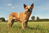foto of cattle dog  - red australian cattle dog upright in a field - JPG