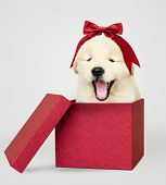 Golden retriever puppy in a red gift box poster