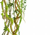 Twisted Wild Lianas Branches Banner. Jungle Vines Plants. Woody Natural Tropical Rainforest. poster
