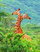 stock photo of mating animal  - Family of giraffes spotted in the woods of Kenya - JPG