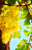 stock photo of grape-vine  - Closeup on grape bunch growing in a sunny garden with selective focus - JPG