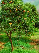 image of mandarin orange  - Ripe mandarin tree growing in the farm garden - JPG