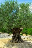 image of olive trees  - Ancient olive tree growing in southern France - JPG