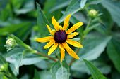 Black-eyed Susan Or Rudbeckia Hirta Or Brown-eyed Susan Or Brown Betty Or Gloriosa Daisy Or Golden J poster