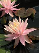 picture of water lily  - Water lilies in a pond in summer day - JPG