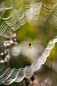 stock photo of spider web  - Spider in the web covered with morning dew - JPG