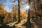 Sun Shines Through Golden Yellow Larch Forest In Late Autumn In A Mountain Valley Under A Blue Sky poster
