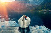 Swan Portrait. Mute Swan (cygnus Olor) Gliding Lake Hallstatt Austria In Sunrise Morning Light. Amaz poster