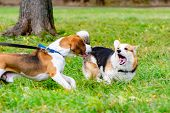 Beagle And Corgi Pembroke. Young Energetic Dog Walks In The Meadow. Dogs Play With Each Other, сorre poster