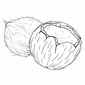 Coconut Icon. Vector Of Coconut Nut. Hand Drawn Cartoon Coconut. Chopped Hairy Nut. poster