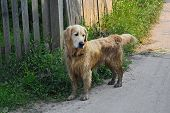 Fun Golden Retriever Dog After Bathing In The Mud. poster