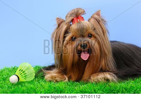 Beautiful yorkshire terrier with lightweight object used in badminton on grass on colorful background