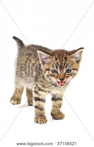 Tabby kitten meowing, isolated on white background