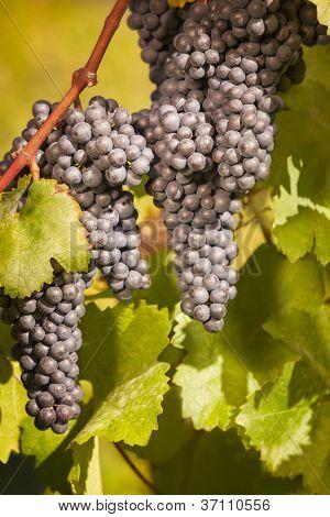 Cachos de uvas azuis penduradas na videira vinha rodeado de folhas verdes.