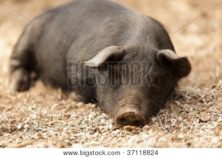 portrait of wild pig lying in forest ground