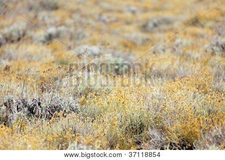 Helichrysum arenarium field, shallow depth