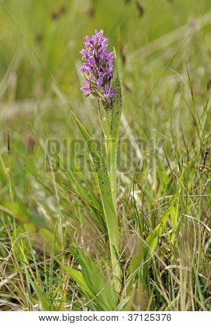 Flecked Marsh Orchid
