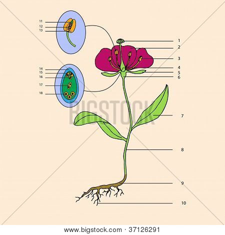 Botanic, Flower Morphology.eps