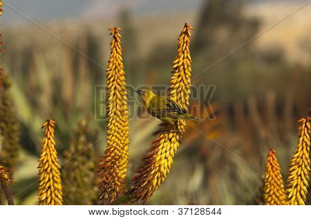 Cape weaver bird on a flower of Aloe ferox