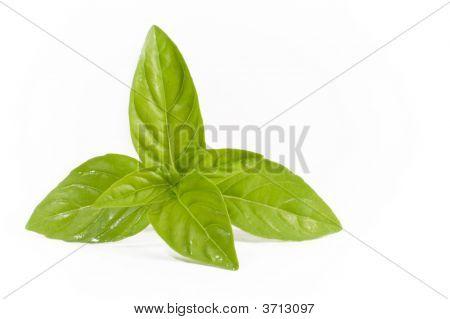 Basil Leaves Isolation