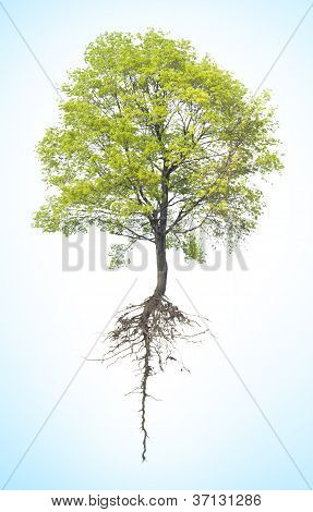 Tree With A Root