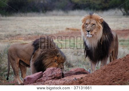 African Lions, Namibia, Africa