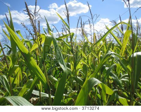 Corn Field Dreams