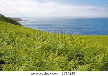 Fern (Dryopteris filix-mas) on the north coast of Jersey, UK