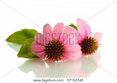 Purple echinacea, isolated on white