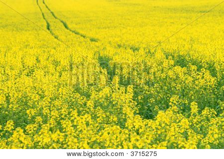 Yellow Oilseed Rape Scenery