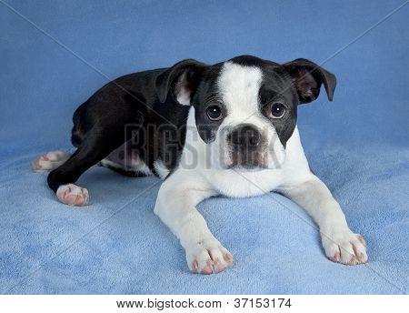 Female Boston Terrier Pup