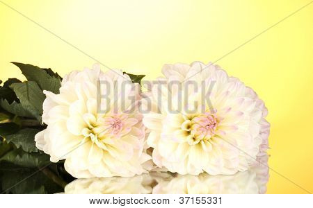 Beautiful white dahlias on yellow background close-up