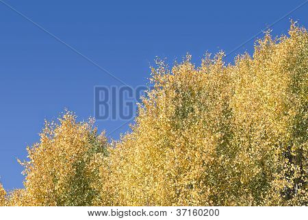 Fall Colors - Quaking Aspens Against A Blue Sky