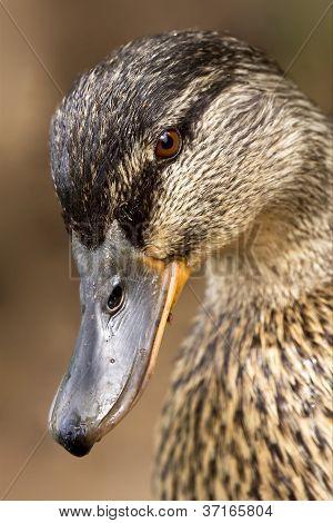 Eye Of A Duck