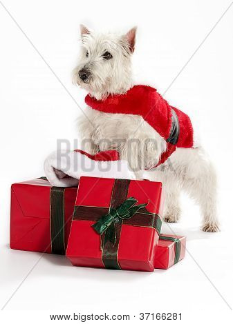 Christmas West Highland White Terrior