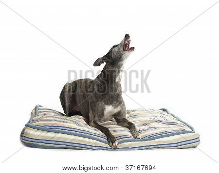 howling greyhound